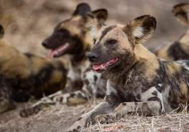 perro salvaje de África