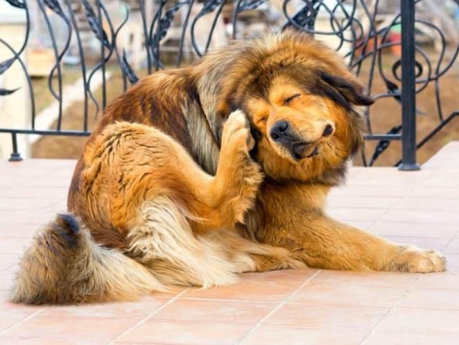 como eliminar las garrapatas en la piel del perro