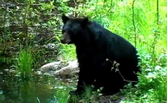 Black Bear- photo courtesy of Florida Fish and Wildlife Conservation Commission