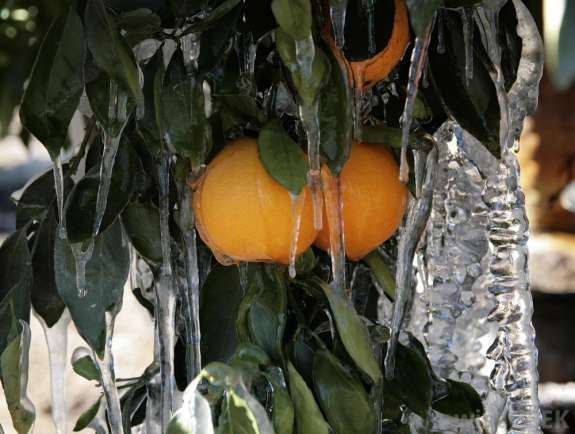 File photo: Florida navel orange tree coated in ice