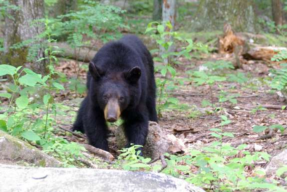Human-black bear interaction is on the rise in parts of Florida, including Seminole County. Photo: Wikimedia Commons.