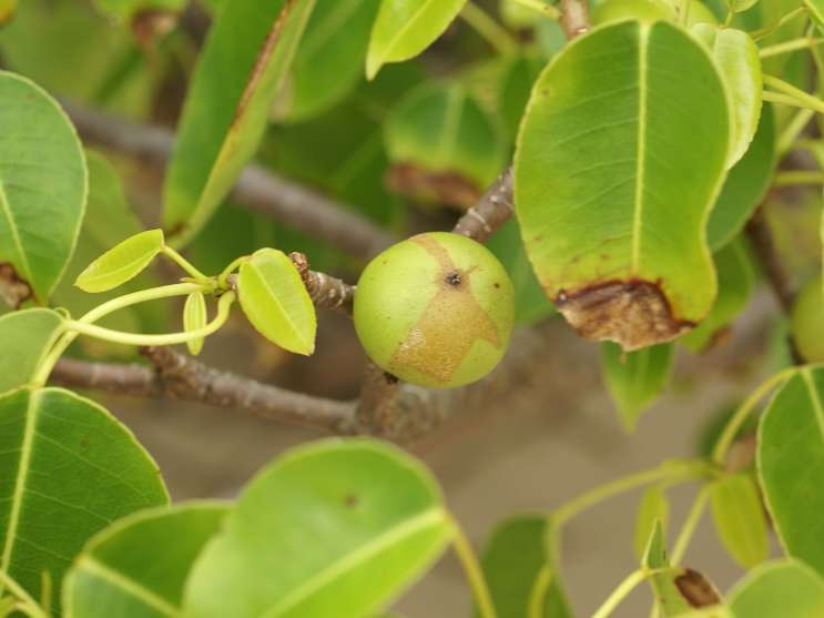 "The manchineel tree is native to Florida. It's expected to be named ""the world's most dangerous tree"" by the Guinness Book of World Records for the sixth year in a row."