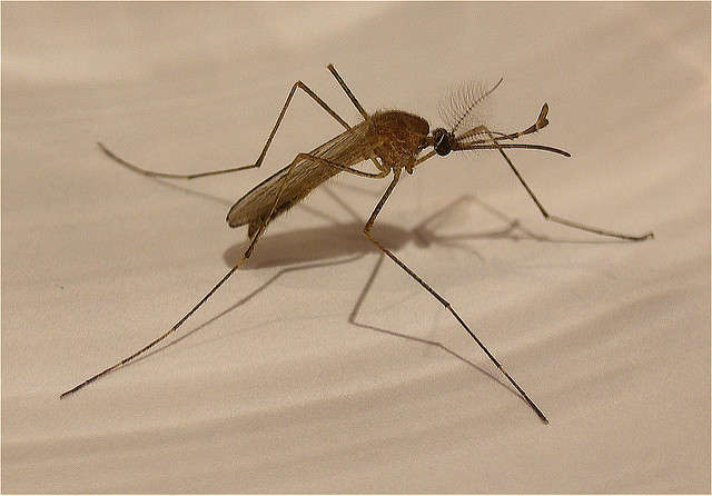 Anti-parasite medicine could be used to stop malaria and Zika from spreading in humans. Photo: Flickr Creative Commons