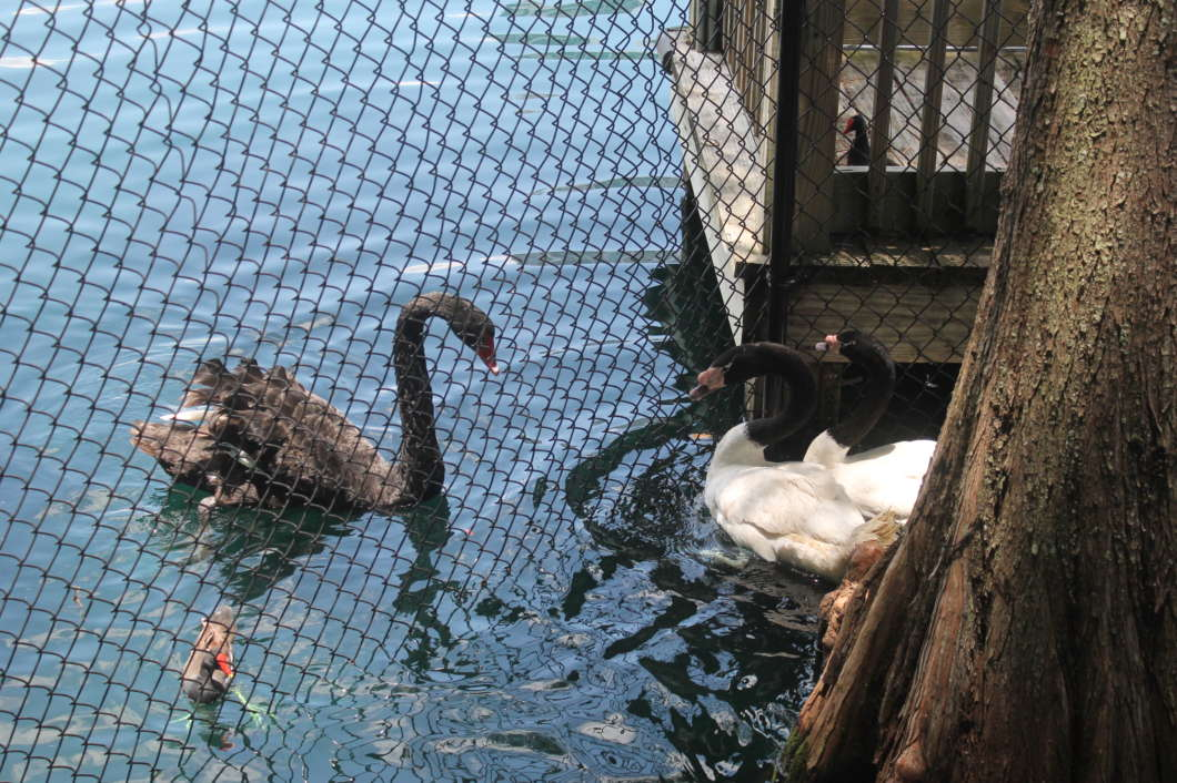 Two male black-necked swans were introduced into Lake Eola Park today. Photo: Paola Chinchilla