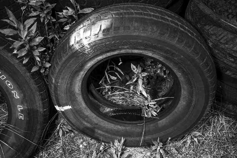 Used tires containing standing water on campus are used by students and faculty at the University of Southern Mississippi to study the Asian tiger mosquito.