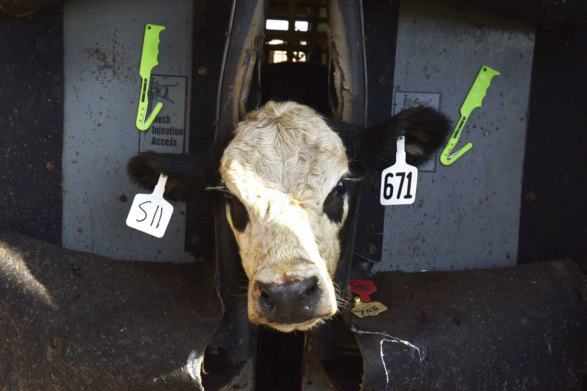 A calf waits to be vaccinated after receiving ear tags at Shero Ranch.