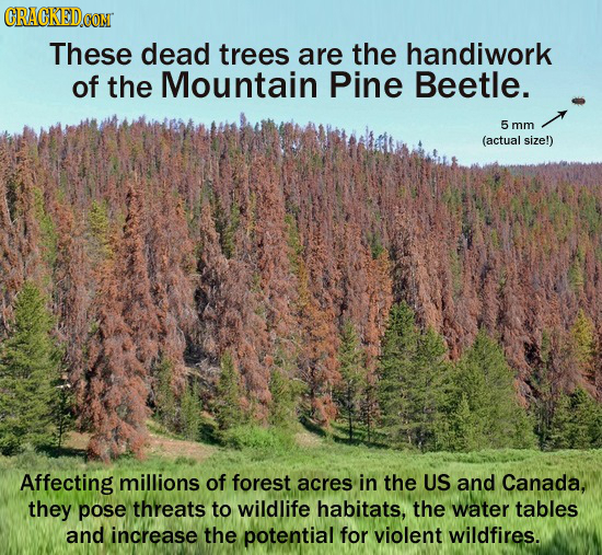 CRACKEDCON These dead trees are the handiwork of the Mountain Pine Beetle. 5 mm (actual size!) Affecting millions of forest acres in the US and Canada