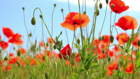 Red Flowers on a Poppy Field by GoodMan Ekim   VideoHive Play preview video