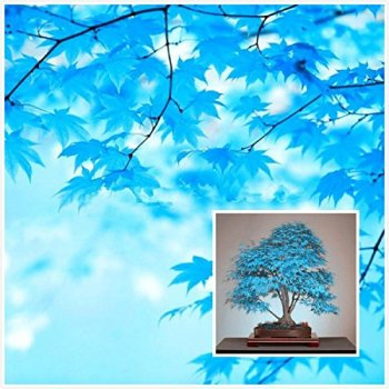100% reale giapponese fantasma blu Acero Bonsai Semi, 10 Semi / Pack, Acer palmatum atropurpureum, Bonsai SOW TUTTO L'ANNO - 3