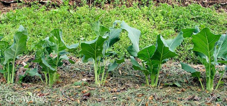 Using Grass Clippings As Vegetable Garden Mulch
