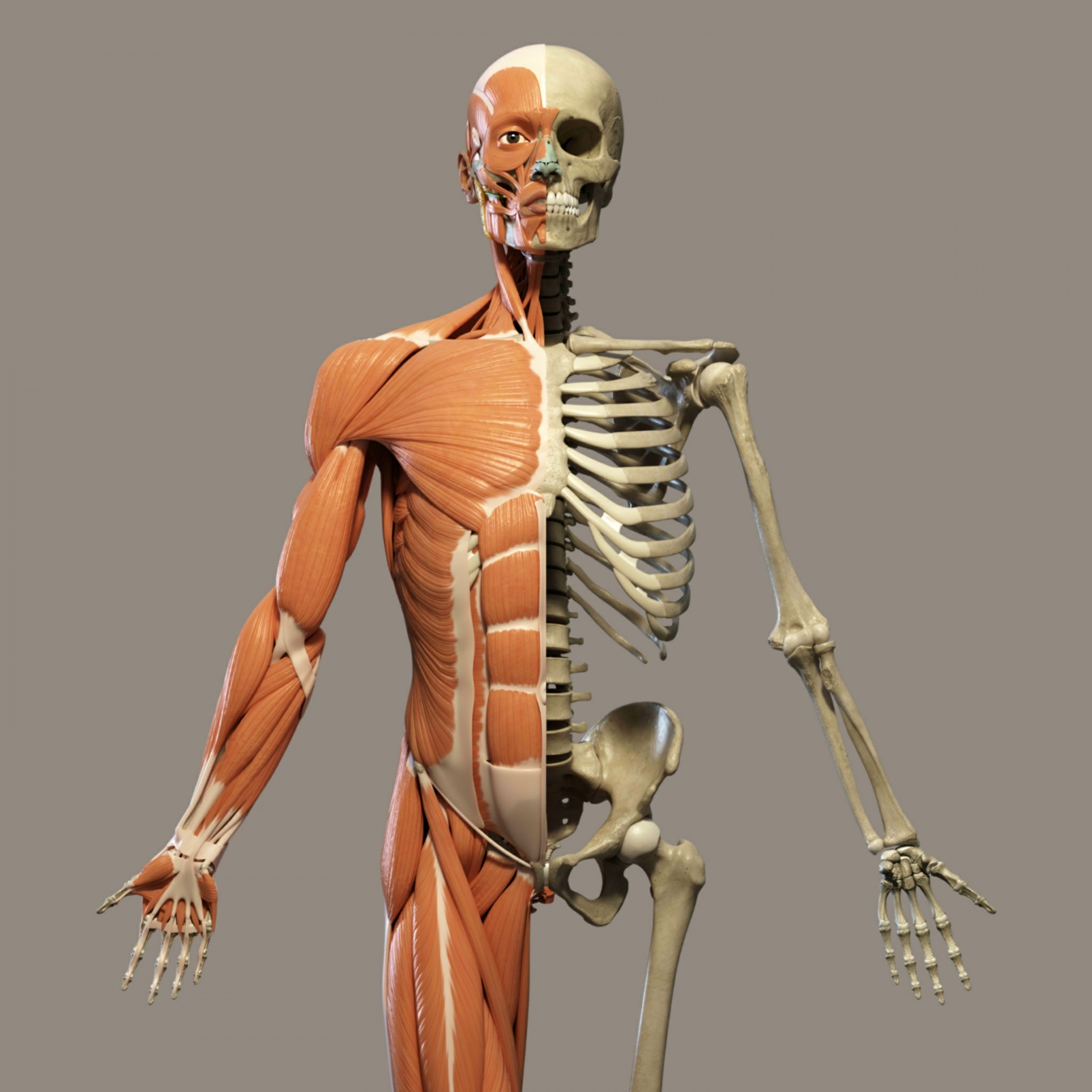 Skeletons Bones And Muscles Why Can T Granny Run Like