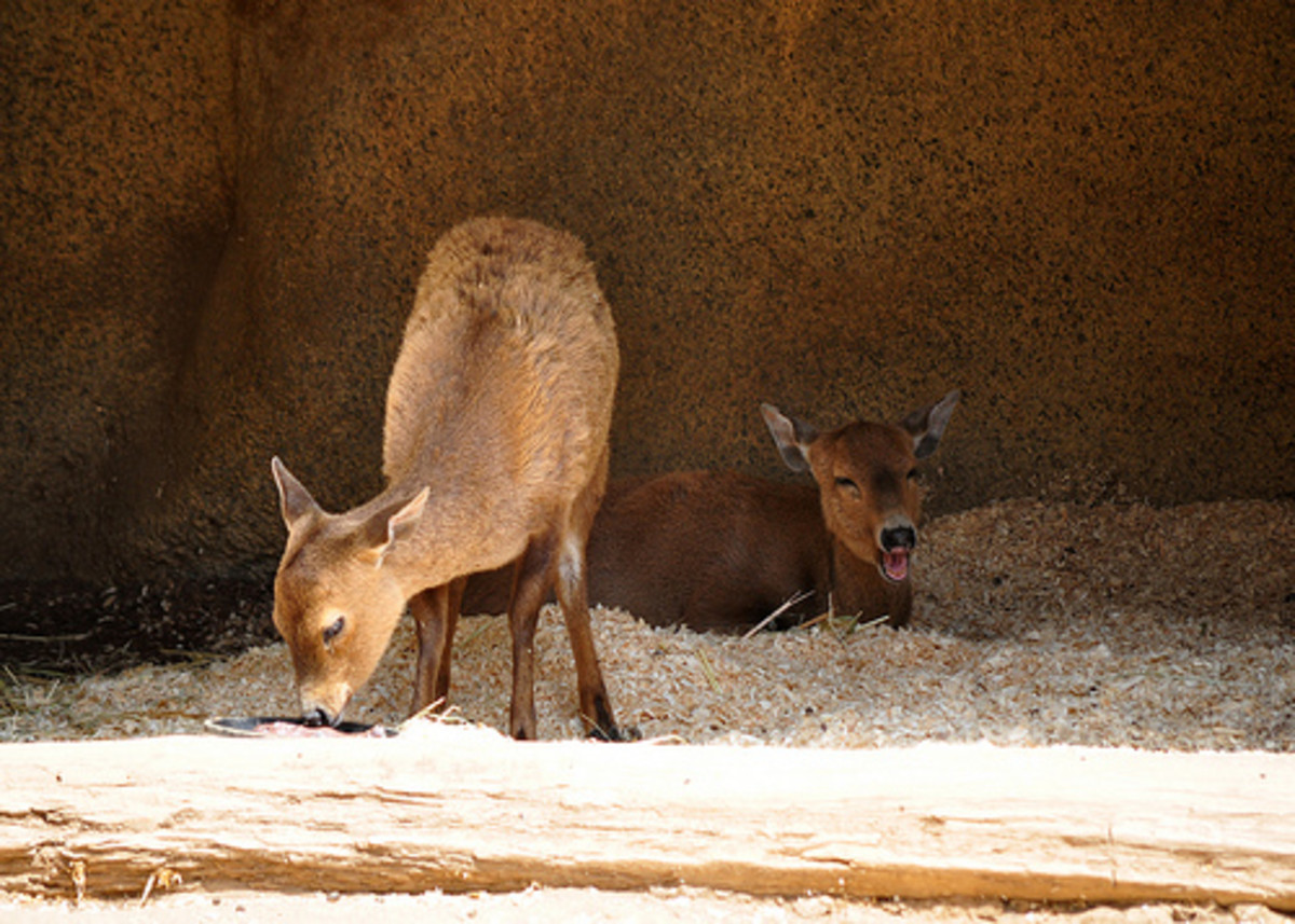 Calamian Deer. Photo from flickr.com