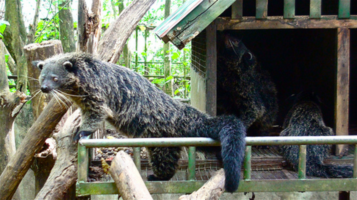 The Philippine Bearcat. Photo from flickr.com