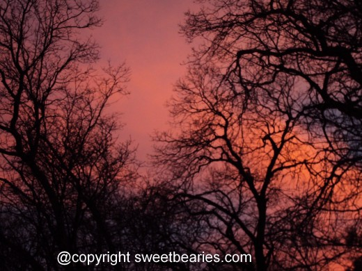 The outline of bare oak trees with a vibrant pink sunset in the background.