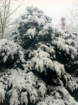 Pine tree - covered in snow