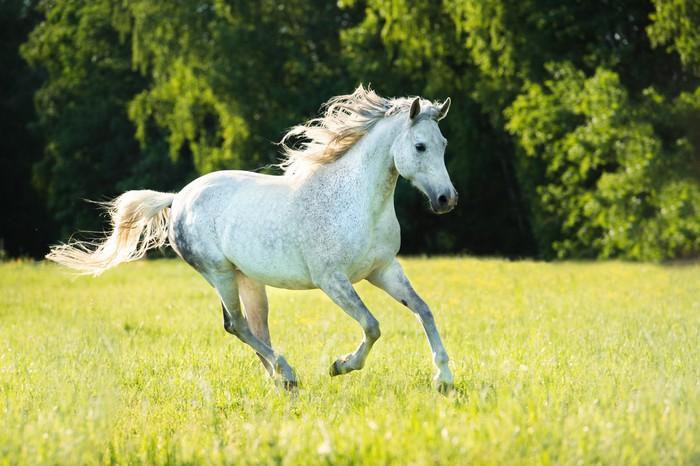 White Arabian Horse Runs Gallop In The Sunset Light Wall