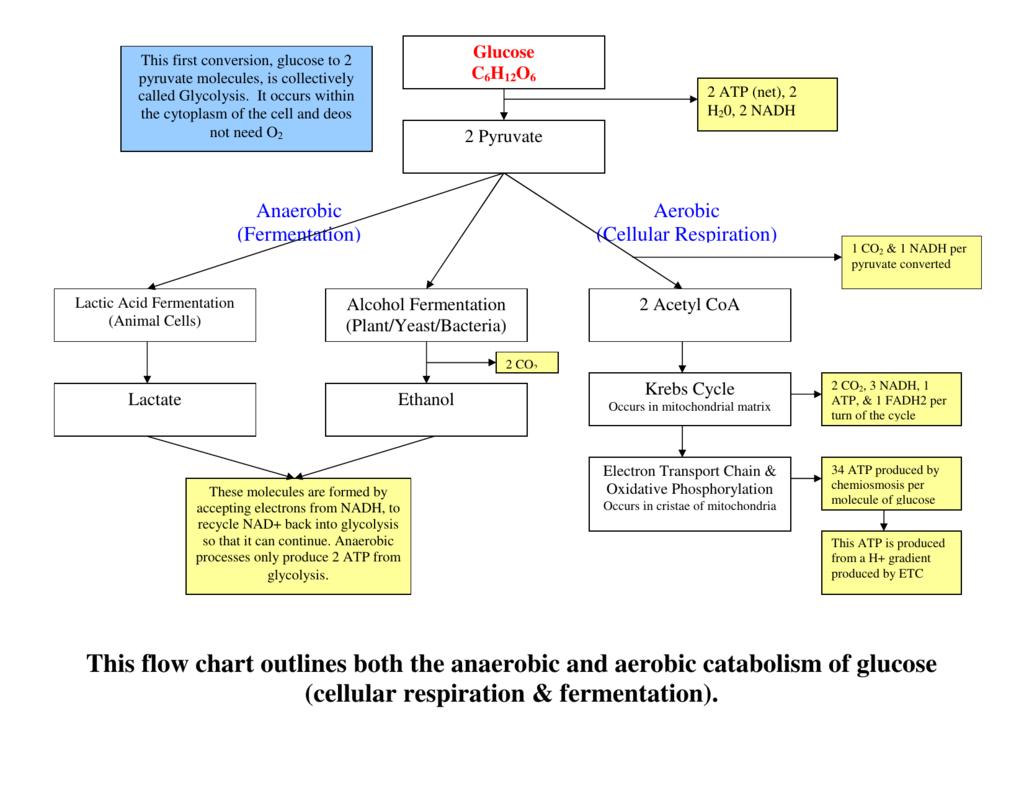 Cellular Respiration Flowchart