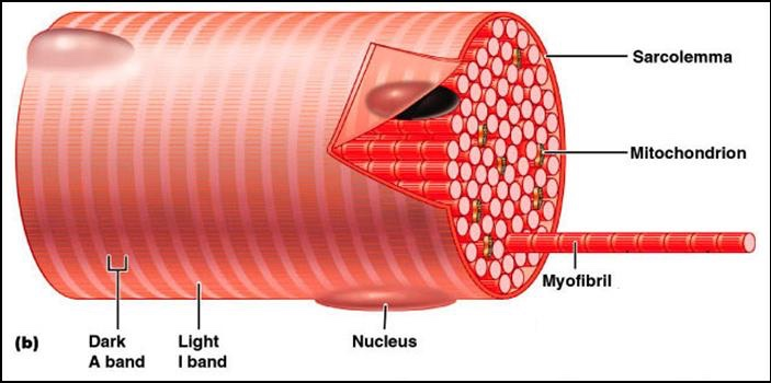 Cell Skeletal Teased Muscle Nuclei