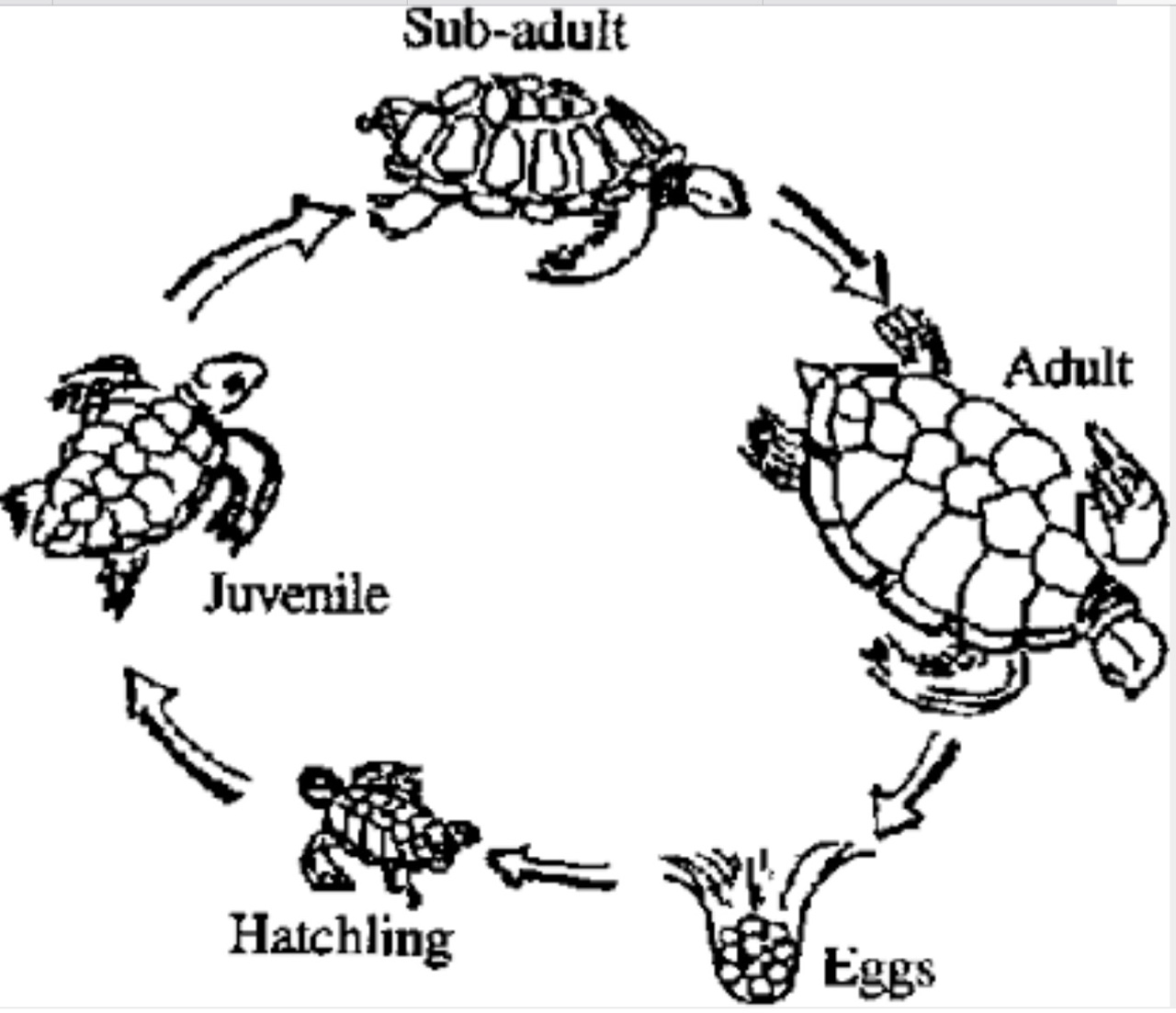 Megan Hardwick Swamp Turtle