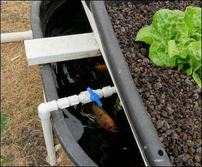 hydroponics, aquaponics, hydroponic system, setting up a hydroponic system, setting up an aquaponic system, homesteading, homestead