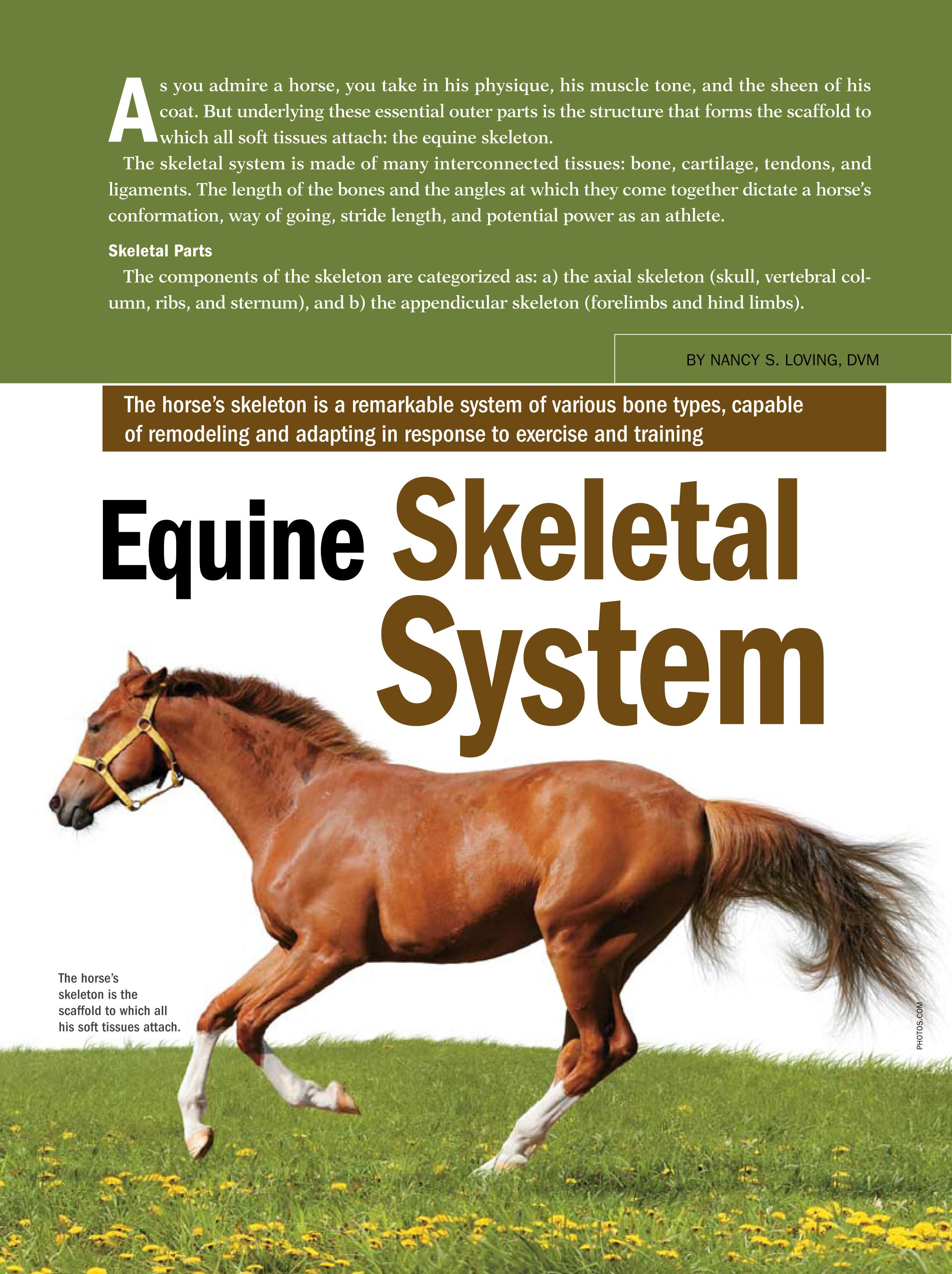 Equine Skeletal System The Horse