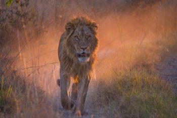 Lion, Botswana Africa