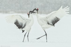 Japanese Red-Crowned Cranes doing a mating or kyuuai dance. ©Martin Bailey