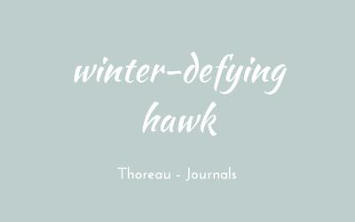 Winter-defying hawk