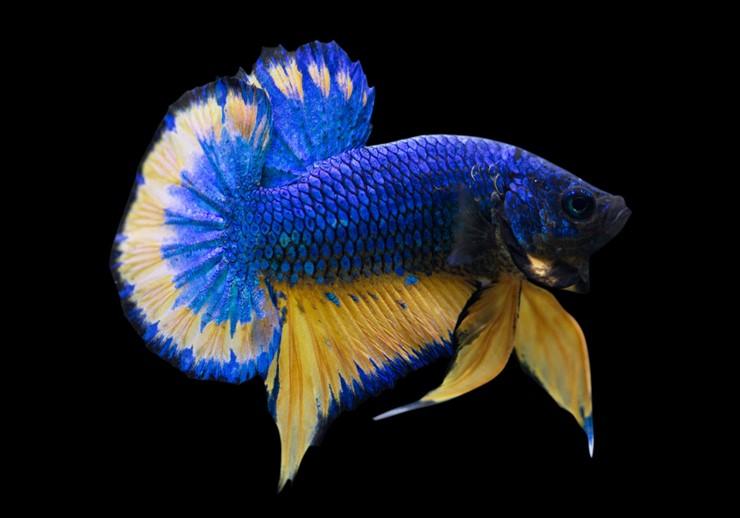 Ikan Cupang Termahal Di Dunia Mencapai Rp20 Jutaan Bukareview