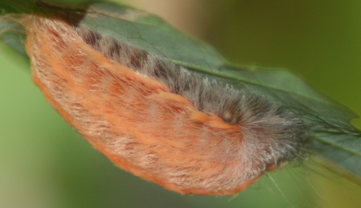 Very, Very Dangerous Caterpillars