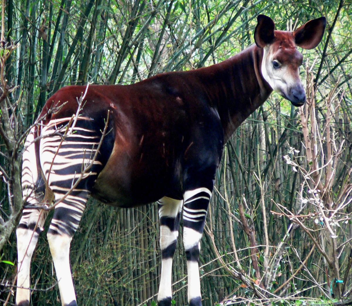 An Okapi. Taken at Disney's Animal Kingdom by Raul654 on January 16, 2005