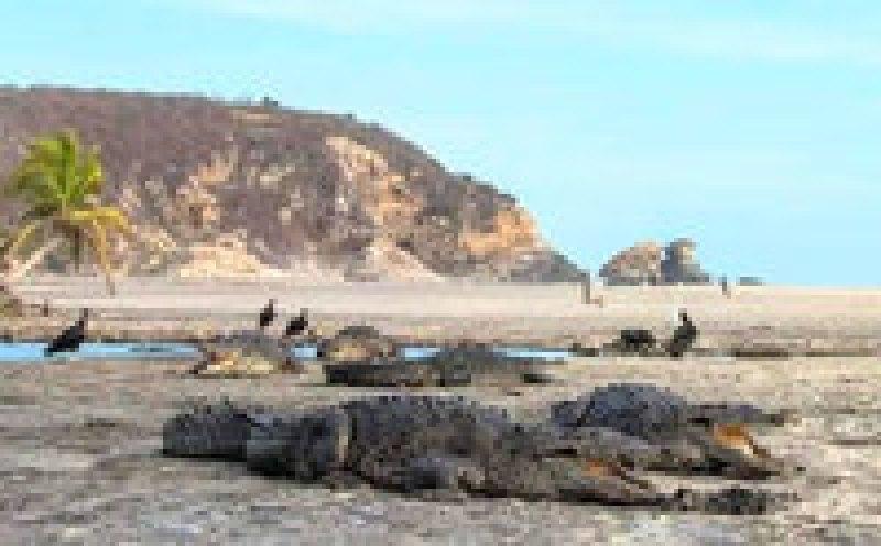 На мексиканском пляже теперь вместо туристов отдыхают крокодилы