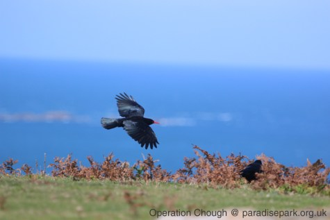 A released Red-billed Chough in Jersey (A Hales)
