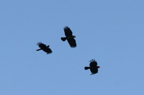 Dusty flying with parents - note paler bill colour