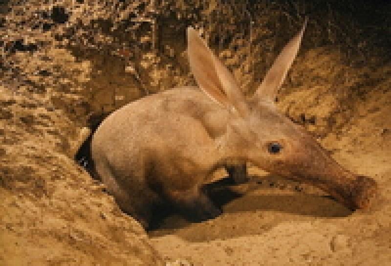 Трубкозубы из Калахари стали охотиться не только ночью, но и днем: в чем причина