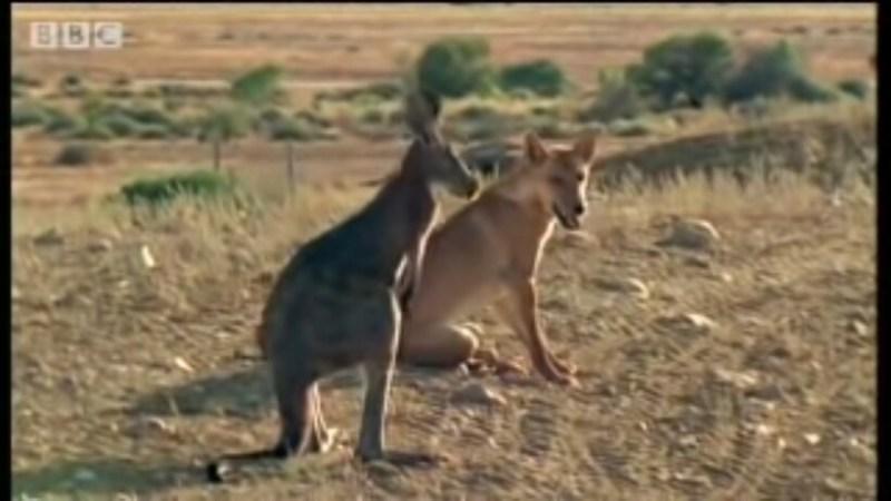 Видео: Собака динго передумала тревожить кенгуру, когда та встала в стойку