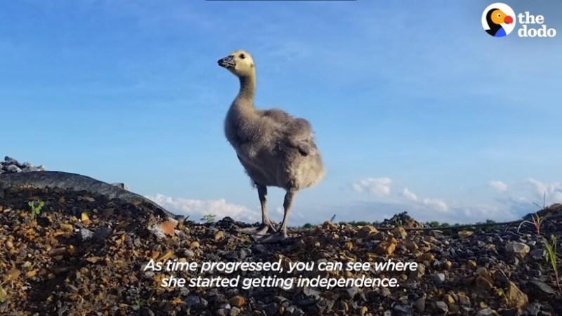 Видео: Американец приютил гусенка, которого не замечала мать, и научил его летать
