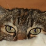 Eyes and ears of a tabby cat peeping over a white blanket