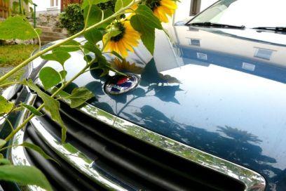 Saab 9-5 mit Sonnenblume. Foto von Peter.