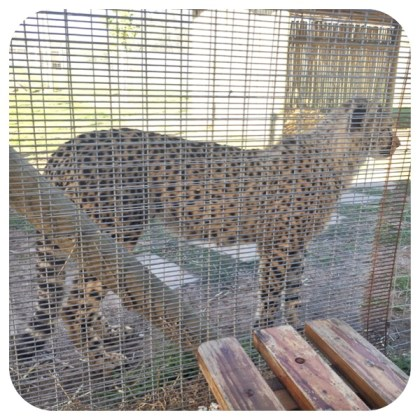 Madiba, the cheetah cub at Cheetah Outreach