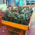 Roses in pushcarts, a sight during our expedition.