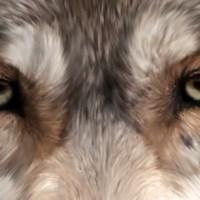 De Timberwolf