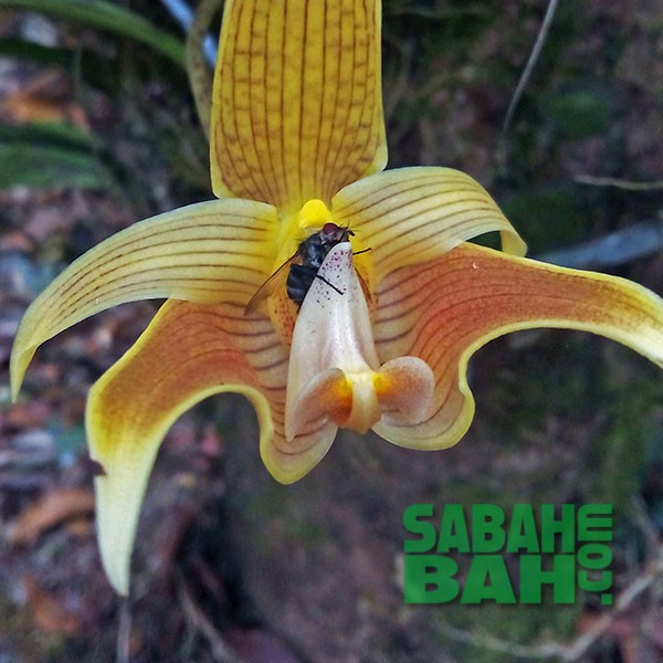 Borneo International Orchid Show, Kota Kinabalu, Sabah