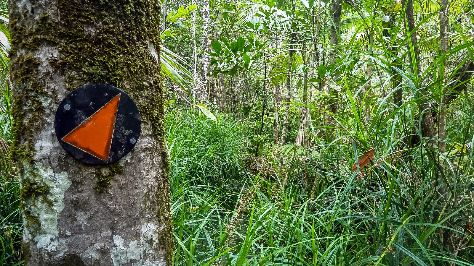 a photo of the trail through swamp on hinchinbrook island.