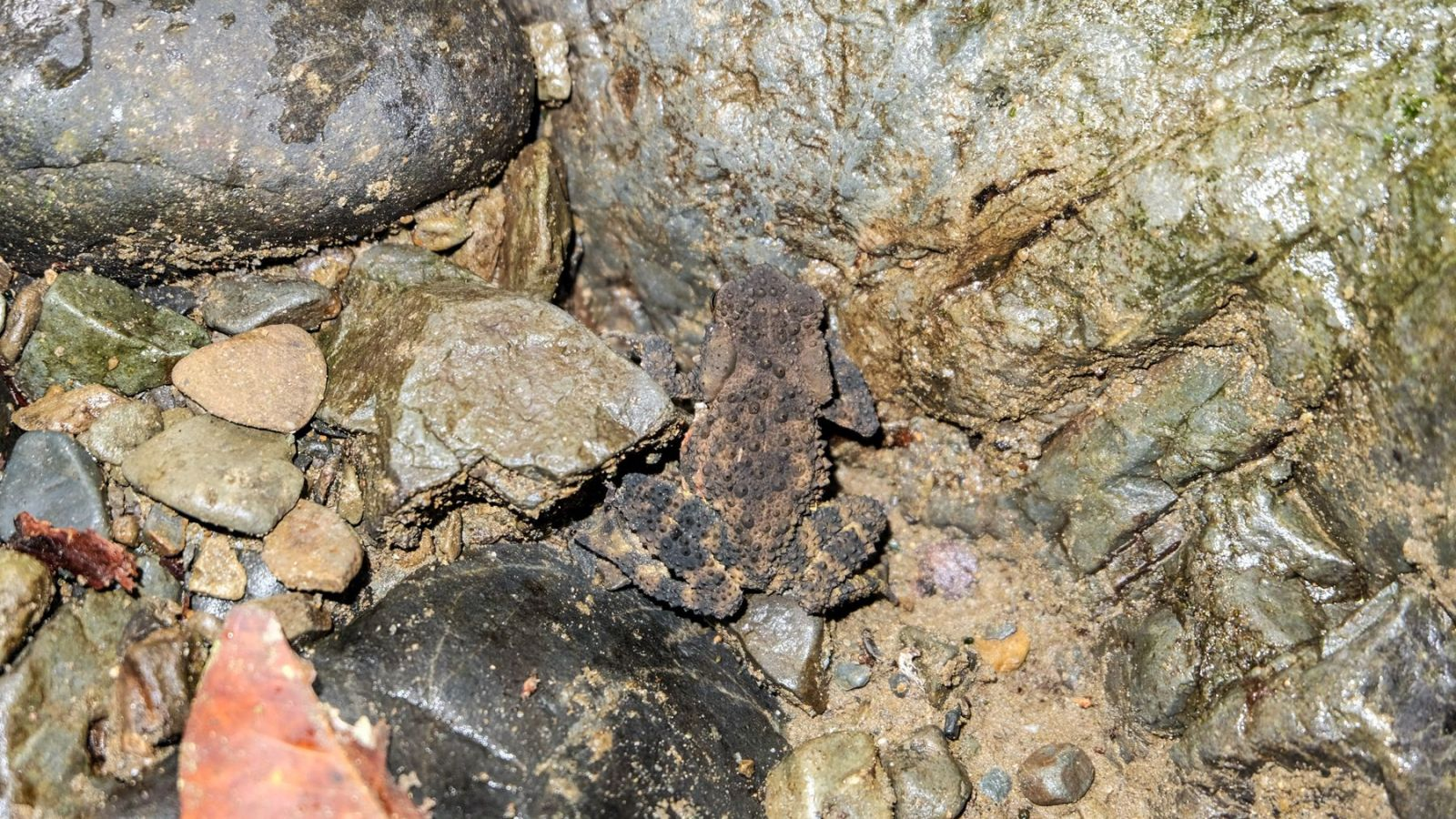a photo of a toad in gunung leuser national park, sumatra.
