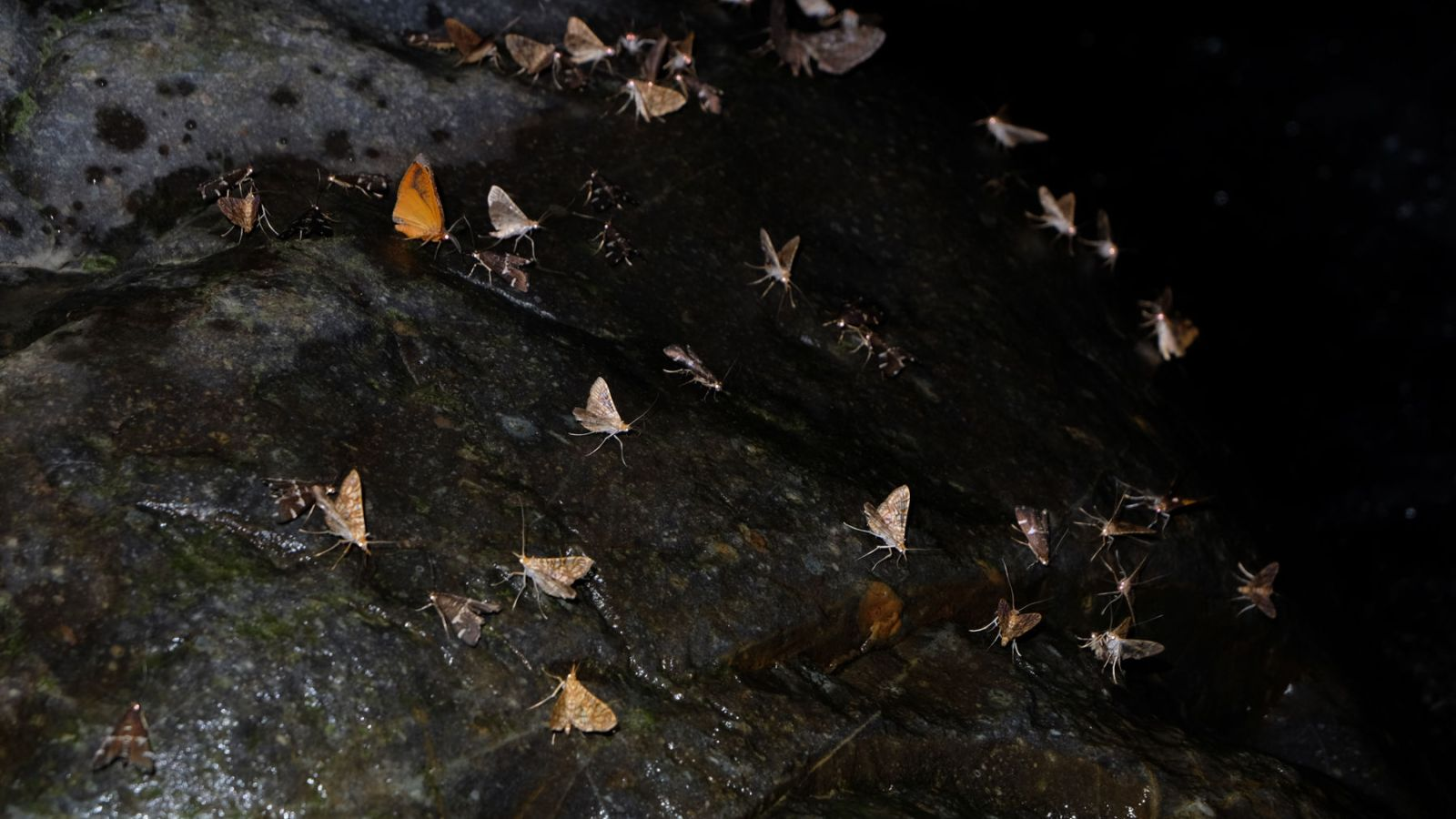 a photo of moths gathering on a rock at night in gunung leuser national park