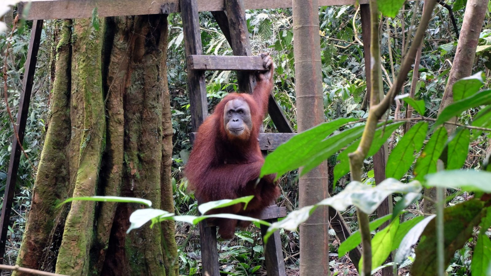 a photo of a orang utan in the orphanage in bukit lawang.