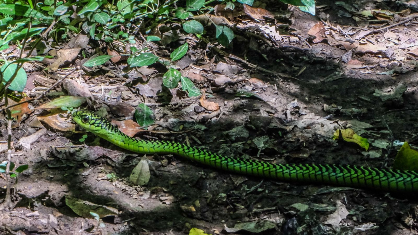a photo of a green snake on the amathole trail in south africa.