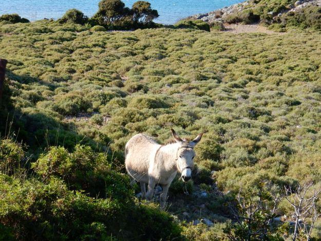 Donkey grazes at Blefouti (Leros Island)