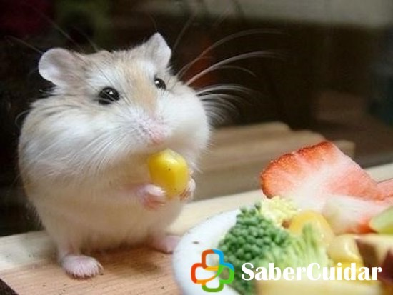 Hamster Roborovski comiendo